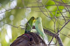 Budgerigars are kissed on branch Stock Photo