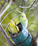 Budgerigars on a nest, the small depth of sharpness Stock Photo