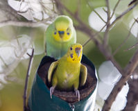 Budgerigars on a nest, the small depth of sharpness Royalty Free Stock Image