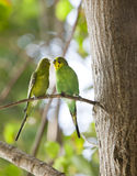 Budgerigars , shell parakeet on branch Royalty Free Stock Photography