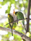 Budgerigars , shell parakeet on branch Stock Photo