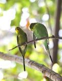Budgerigars , shell parakeet on branch Stock Photo