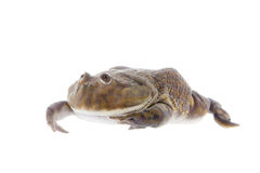 The Budgett's or hippo frog, Lepidobatrachus laevis, on white Stock Image