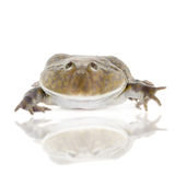 The Budgett's or hippo frog, Lepidobatrachus laevis, on white Stock Images