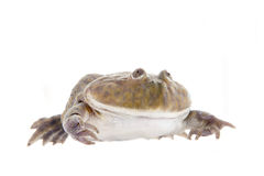 The Budgett's or hippo frog, Lepidobatrachus laevis, on white Stock Photo
