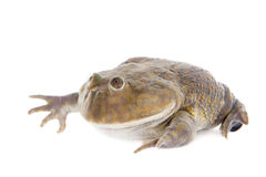 The Budgett's or hippo frog, Lepidobatrachus laevis, on white Royalty Free Stock Photo