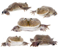 The Budgett's or hippo frog, Lepidobatrachus laevis, on white Royalty Free Stock Photography