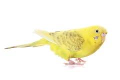 budgie黄色 免版税图库摄影