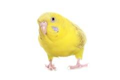 budgie黄色 库存图片