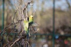 Budgie που πετά με τα φτερά του που διαδίδονται Στοκ εικόνες με δικαίωμα ελεύθερης χρήσης
