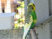 Budgie в домашнем aviary Стоковое Фото