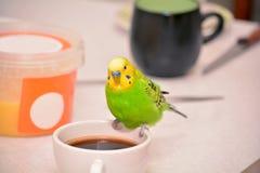 Budgie на кофейной чашке Стоковые Фотографии RF