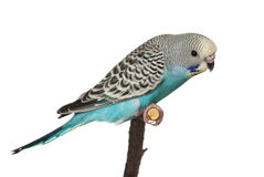Budgie Images stock