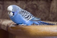 Budgie. Sleeping blue budgie - small home pet Royalty Free Stock Image