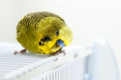 Budgie. A green budgie on top of his cage Stock Photos