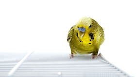 Budgie. A green budgie on top of his cage Royalty Free Stock Images