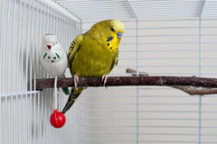 Budgie. A green domestic budgie sitting with his toy friend Stock Photos