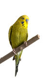 Budgie. A green tame green budgie sitting on a branch Royalty Free Stock Photo