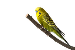 Budgie. A green tame green budgie sitting on a branch Royalty Free Stock Images