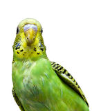 Budgie Photographie stock