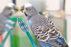 Budgie. With a toothbrush looking at the mirror Stock Image