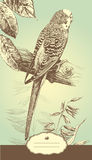 Budgie. Royalty Free Stock Photo