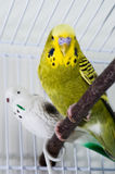 Budgie. Green budgie sitting in his cadge with a toy bird Stock Photos