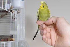 Budgie. A green budgie sitting on a finger outside the cadge Stock Photo