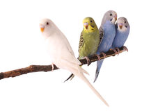 Budgie Royalty Free Stock Photos
