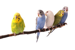 Budgie Stock Photos
