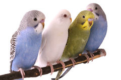 Budgie Royalty Free Stock Images
