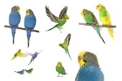 budgie Photo stock