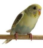 鸟budgie 库存图片