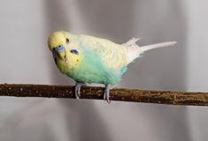 Budgie Foto de Stock Royalty Free