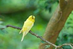 Budgie amarillo Imagen de archivo libre de regalías