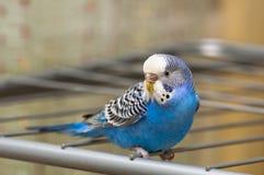 Budgie azul Imágenes de archivo libres de regalías