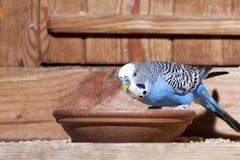Budgie azul imagens de stock royalty free