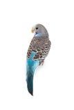 Budgie azul imagem de stock royalty free