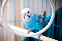 Budgie azul Imagem de Stock