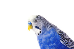 Budgie błękit, odizolowywający na białym tle Nierozłączka w pełnym przyroscie Fotografia Stock