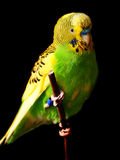 Budgie bird Stock Photography