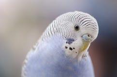 Budgie bleu Image libre de droits