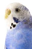 Budgie bleu et blanc photographie stock