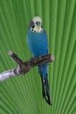 Budgie bleu sur la perche Image stock