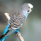 Budgie blu-chiaro Fotografia Stock Libera da Diritti
