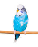 Budgie. Blue on the white background Stock Image