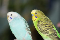 Budgie buddies. Stock Photo