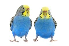 Budgie Stock Photography