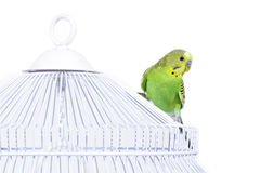 Budgie on the cage Stock Images