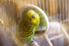 Budgie in a cage cleans feathers near the mirror. Royalty Free Stock Image